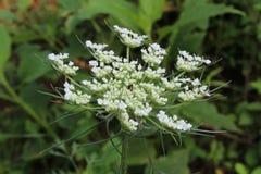 Цветение wildflower шнурка ` s ферзя Энн белое американское Стоковые Изображения
