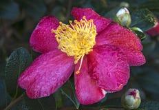 Цветение Yuletide Cammelia Стоковые Изображения RF