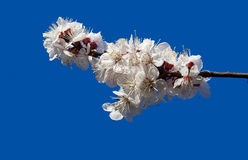 Цветения абрикоса против голубого неба Стоковая Фотография RF