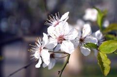 Цветения абрикоса стоковые изображения rf