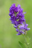 Цветения альфальфы Стоковое Изображение