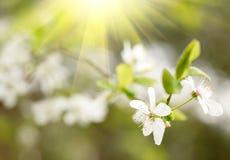 Цветения белизны весны Стоковая Фотография RF