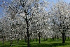 цветения белые Стоковая Фотография