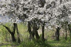 цветения белые Стоковое фото RF