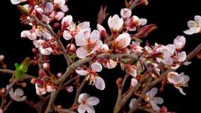 Цветения белых цветков на вишневом дереве ветвей сток-видео