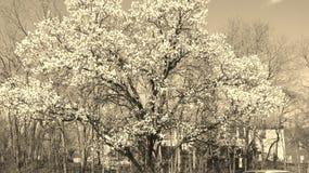 цветения белые стоковые фотографии rf