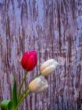 Цветения белых и красных/пинка тюльпана на голубом шелушении красят backgrou Стоковая Фотография