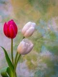 Цветения белых и красных/пинка тюльпана на желтом цвете и зеленом цвете Стоковые Изображения
