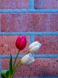 Цветения белых и красных/пинка тюльпана на предпосылке кирпича Стоковые Фотографии RF