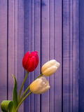 Цветения белых и красных/пинка тюльпана на предпосылке медного штейна Стоковое Изображение