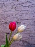 Цветения белых и красных/пинка тюльпана на предпосылке песка Стоковые Фото