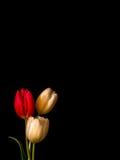 Цветения белых и красных/пинка тюльпана на черноте Стоковое Изображение RF