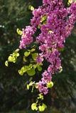 Цветения весеннего времени дерева Redbud мексиканца Крупный план на цветках стоковое фото