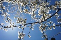 Цветения весны в ясном небе Стоковая Фотография RF