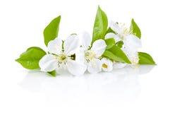 Цветения весны изолированных фруктовых дерев дерев Стоковые Фотографии RF