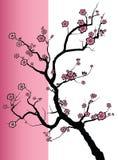 Цветения весны Sakura Стоковое Изображение RF