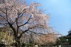 Цветения вишневого дерева в Сеуле, Корее Стоковые Фотографии RF