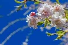 Цветения вишневого дерева против голубого неба Стоковая Фотография
