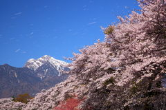 Цветения вишни и снежная гора Стоковые Изображения