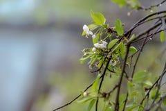 Цветения вишни Конец-вверх Ландшафт ЛЕТА Стоковые Фото