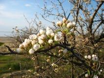 Цветения вишни Стоковые Фотографии RF