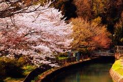 Цветения вишни Стоковые Изображения RF