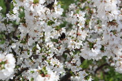 Цветения вишни Стоковые Фото