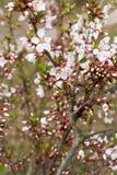 Цветения вишни Стоковое Изображение