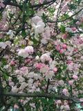 Цветения вишни Стоковая Фотография RF