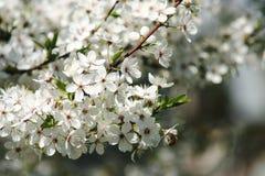 Цветения вишни Стоковое Фото