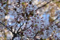 Цветения вишни Стоковое фото RF