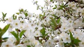 Цветения вишни