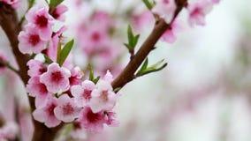 Цветения вишни видеоматериал