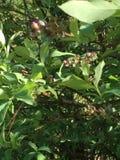 Цветения голубики стоковые фото