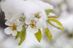 Цветения грушевого дерев дерева с крышкой снега стоковое фото