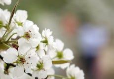 Цветения груши в предыдущей весне стоковое изображение rf