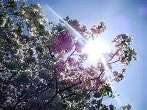 Цветения груши под лучами могут греть на солнце Стоковая Фотография RF