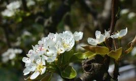 Цветения груши Стоковые Фотографии RF