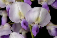 Цветения глицинии Стоковые Фотографии RF