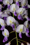 Цветения глицинии Стоковое фото RF
