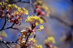 Цветения дерева клена против голубого неба весной Изображение конца-вверх цветка клена Стоковые Изображения