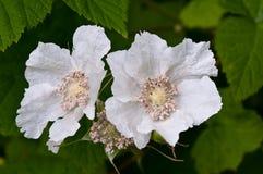 цветения ежевики одичалые стоковые изображения