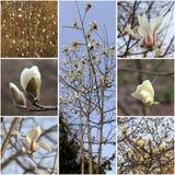 Цветения дерева магнолии белые Весна коллажа Стоковое фото RF