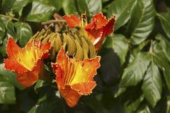 Цветения дерева тюльпана Стоковые Изображения
