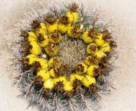 Цветения кактуса бочонка Стоковая Фотография RF