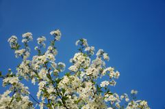 Цветения кислой вишни (cerasus сливы) в ясном голубом небе стоковое изображение