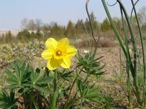 Цветения красоты весен narcissus пасхи Стоковая Фотография