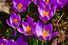 Цветения крокуса в предыдущей весне стоковые фотографии rf
