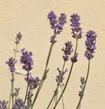 Цветения лаванды стоковое изображение rf