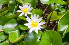 Цветения лотоса или лилия воды цветут зацветать на пруде Стоковая Фотография